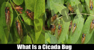 What Is a Cicada Bug